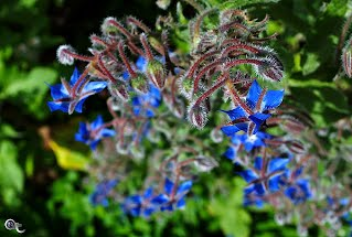 Starflowers (Borago)